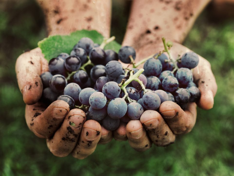 grappes de raisins vins bios
