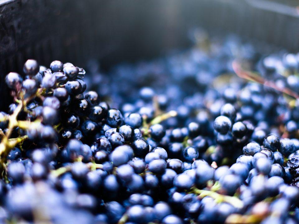Vinification en cours de raisins.